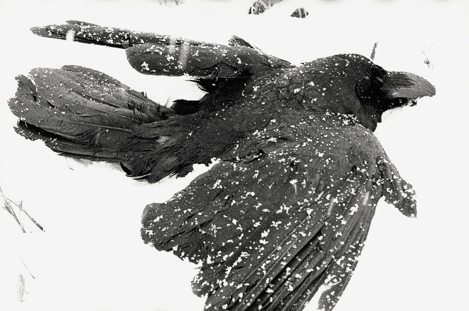 Ravens by Masahisa Fukase - StyleZeitgeist, Ravens, Photography, Masahisa Fukase, Japanese, Eugene Rabkin, Culture, Art, 2017